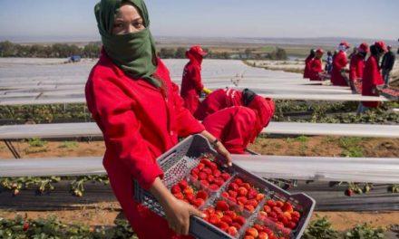 L'ESPAGNE souhaite recruter 16.000 ouvrières saisonnières marocaines pour la cueillette des fraises