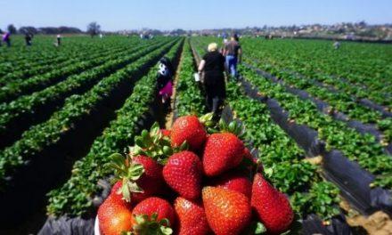 Le Maroc est le sixième exportateur de fraises au niveau de l'Union Européenne UE