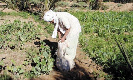 SÉCHERESSE : 200 MDH AU PROFIT DES AGRICULTEURS DE RHAMNA