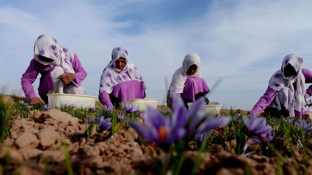 Azilal: un projet de 26 MDH POUR LE DÉVELOPPEMENT de la culture du safran 1