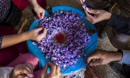 Le Maroc 4ème producteur mondial de Safran