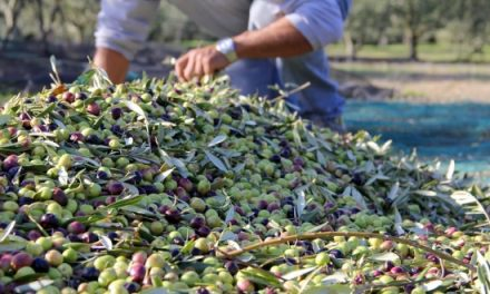 """UNE PRODUCTION D'OLIVES EN PROGRESSION DE 14% EN 2020-2021"""