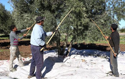 """UNE PRODUCTION D'OLIVES EN PROGRESSION DE 14% EN 2020-2021"" 1"
