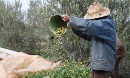 Al Moutmir : Hausse du rendement de l'olivier à l'hectare de 34% en 2019/2020