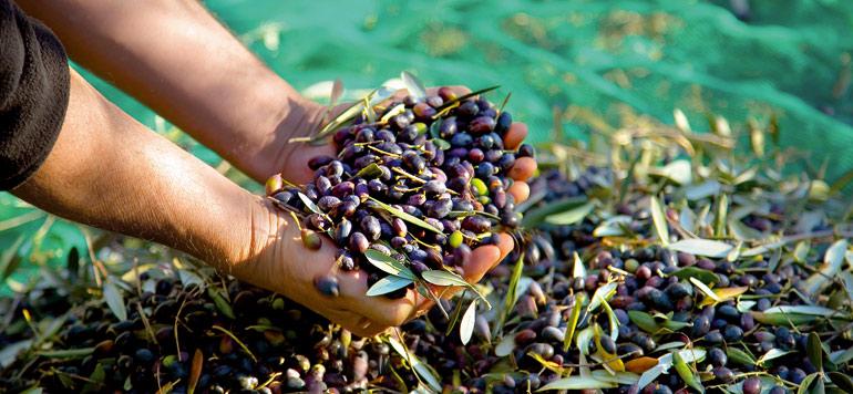 Al Moutmir : Hausse du rendement de l'olivier à l'hectare de 34% en 2019/2020 1