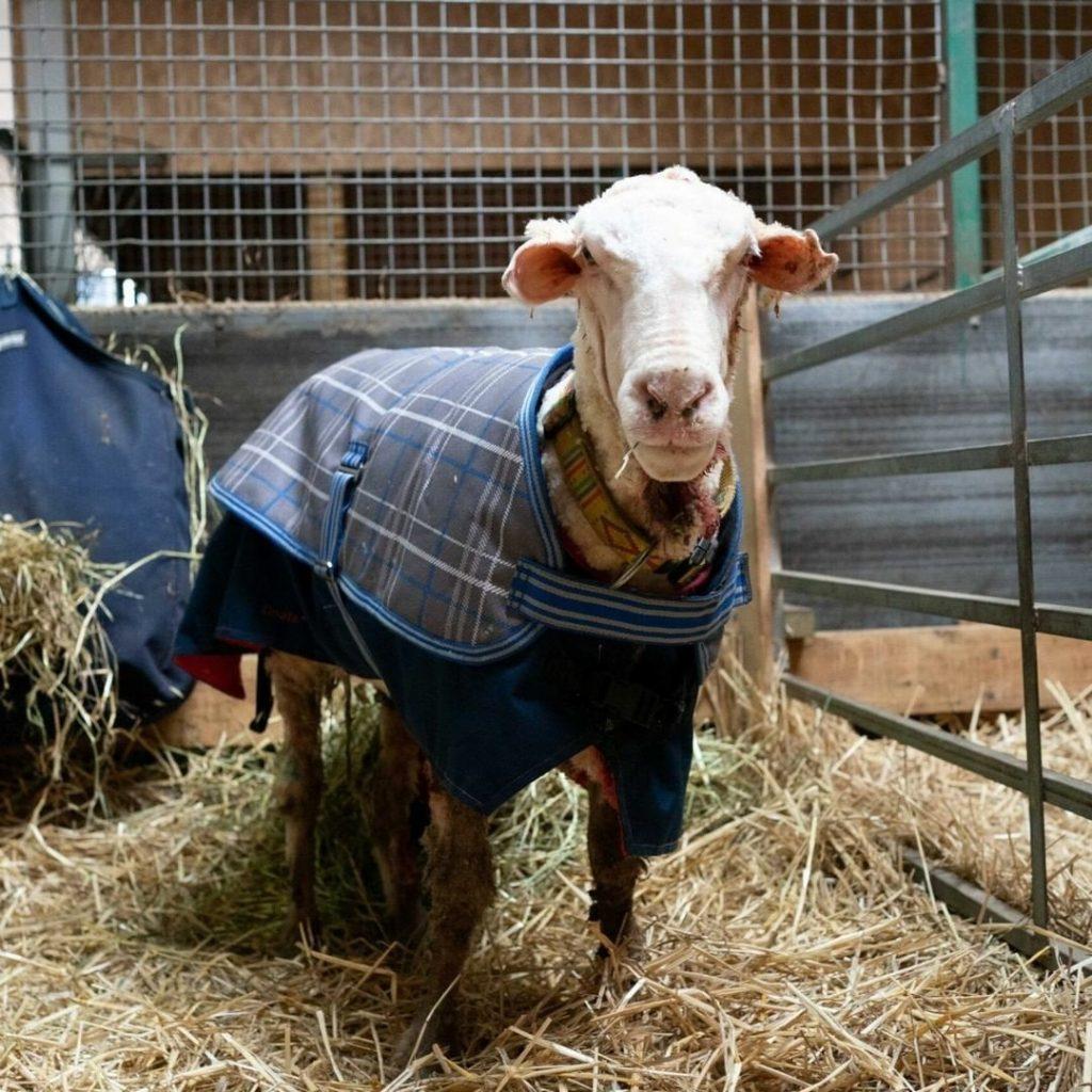 un mouton délesté de son pelage de 35 kg EN AUSTRALIE 1