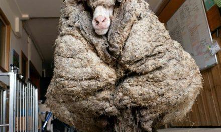 un mouton délesté de son pelage de 35 kg EN AUSTRALIE