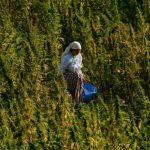 Maroc: vers la légalisation du cannabis