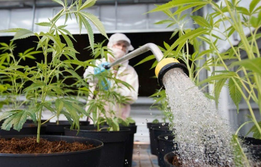 Le projet de loi sur la légalisation du cannabis adopté en conseil de gouvernement