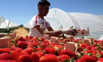 Fruits rouges: Le label Maroc se fait une place de choix à l'étranger