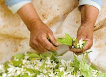 Marrakech revivifie la tradition de distillation de la fleur d'oranger 3