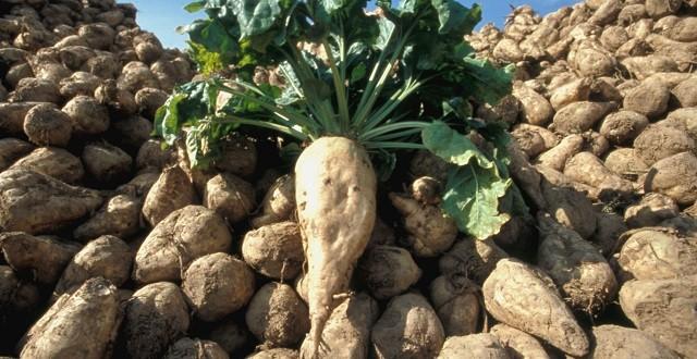 Une production prévisionnelle record de betterave à sucre à Rabat-Salé-Kénitra 1