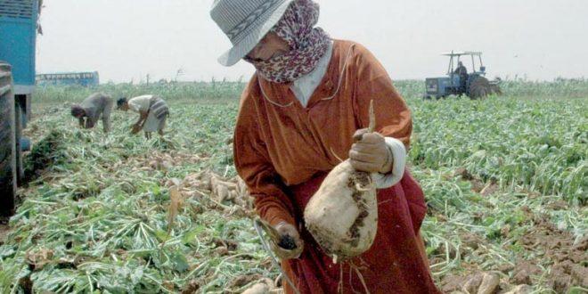 Une production prévisionnelle record de betterave à sucre à Rabat-Salé-Kénitra