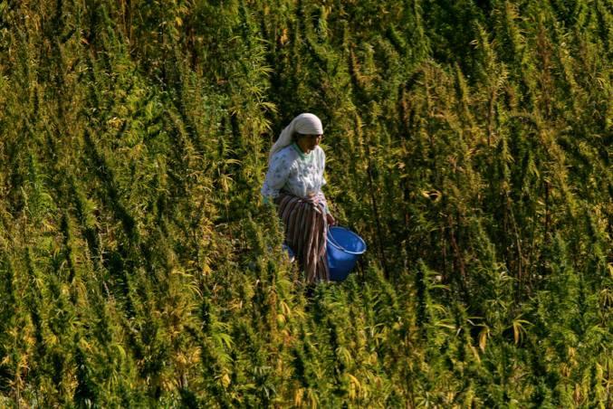 Le Parlement MAROCAIN légalise FINALMENT l'usage thérapeutique du cannabis