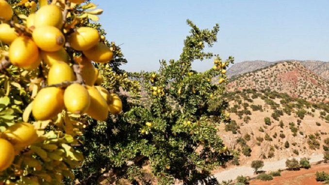 Plantation de 50.000 hectares d'arganiers au Maroc d'ici 2030
