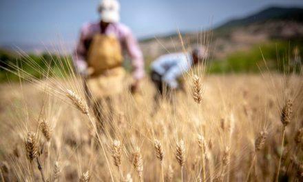 """Campagne céréalière 2020-2021: une """"très bonne"""" récolte de 103 millions de quintaux attendus"""