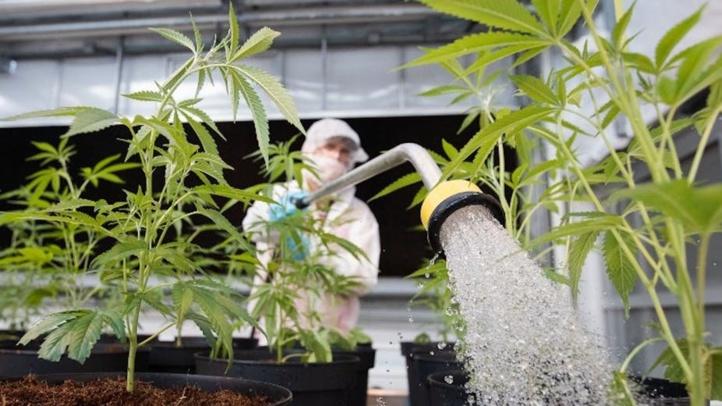 Le Conseil de gouvernement adopte un projet de décret relatif à l'usage licite du cannabis