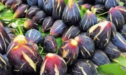 TAOUNATE:  reconversion de plus 600 ha de céréales en figuier