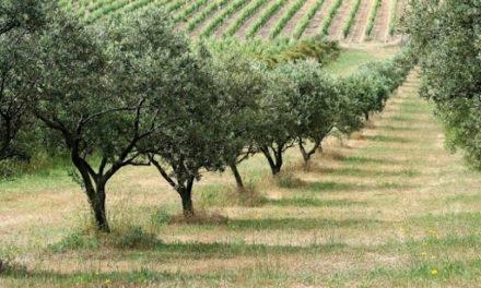 GÉNÉRATION GREEN: VERS LA PLANTATION DE 30.000 HECTARES D'OLIVIERS
